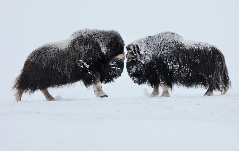 Na wer wird denn gleich streiten! Beeindruckende Bilder von professionellen Tierfotografen gibt es auf der App.  Foto: (c) wild wonders of europe, Vincent Munie