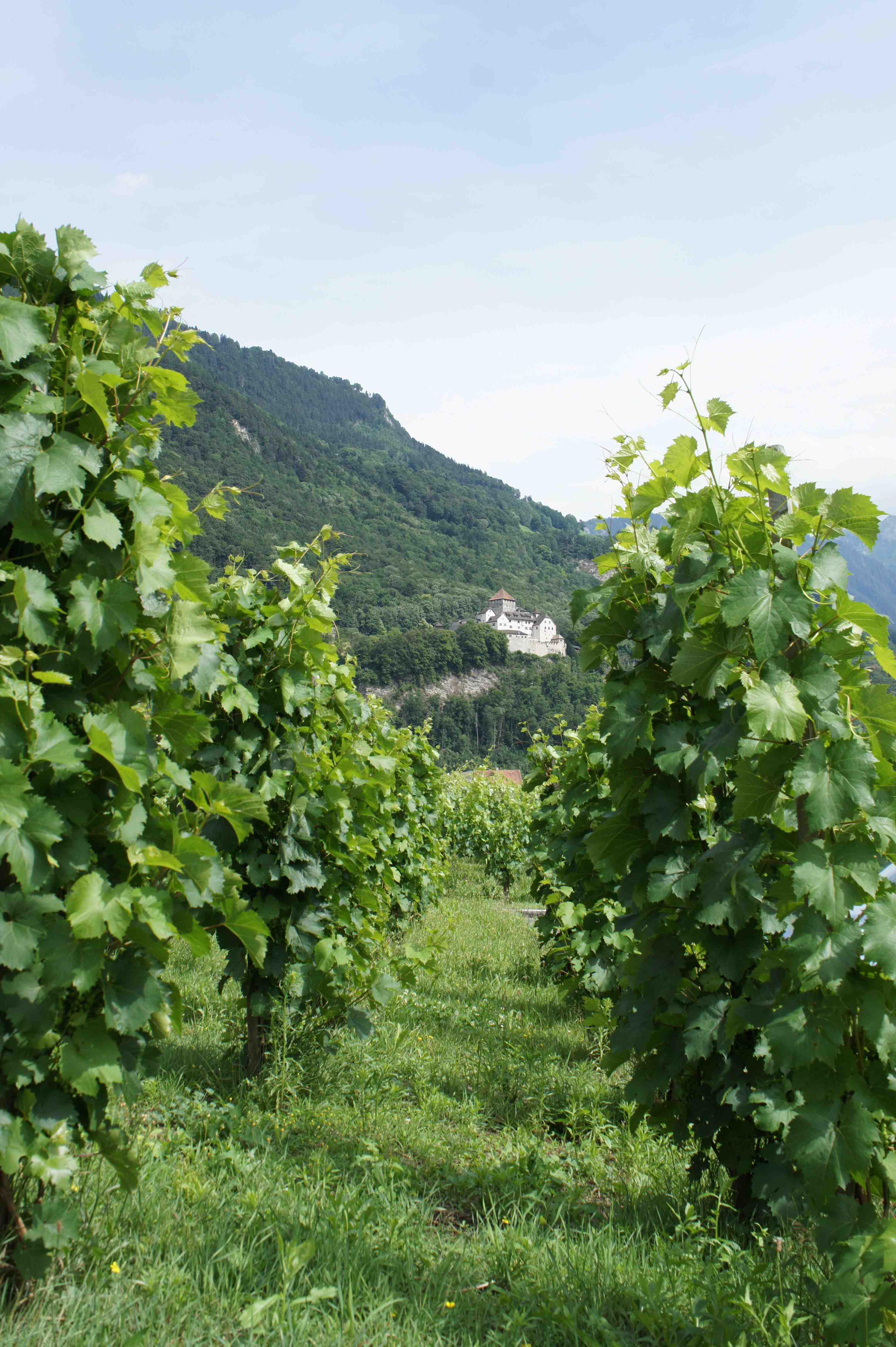 Ein Blick zwischen den Weinreben hindurch auf das fürstliche Schloss, oberhalb von Vaduz, dem Hauptort von Liechtenstein. Foto: (c) Kinderoutdoor.de