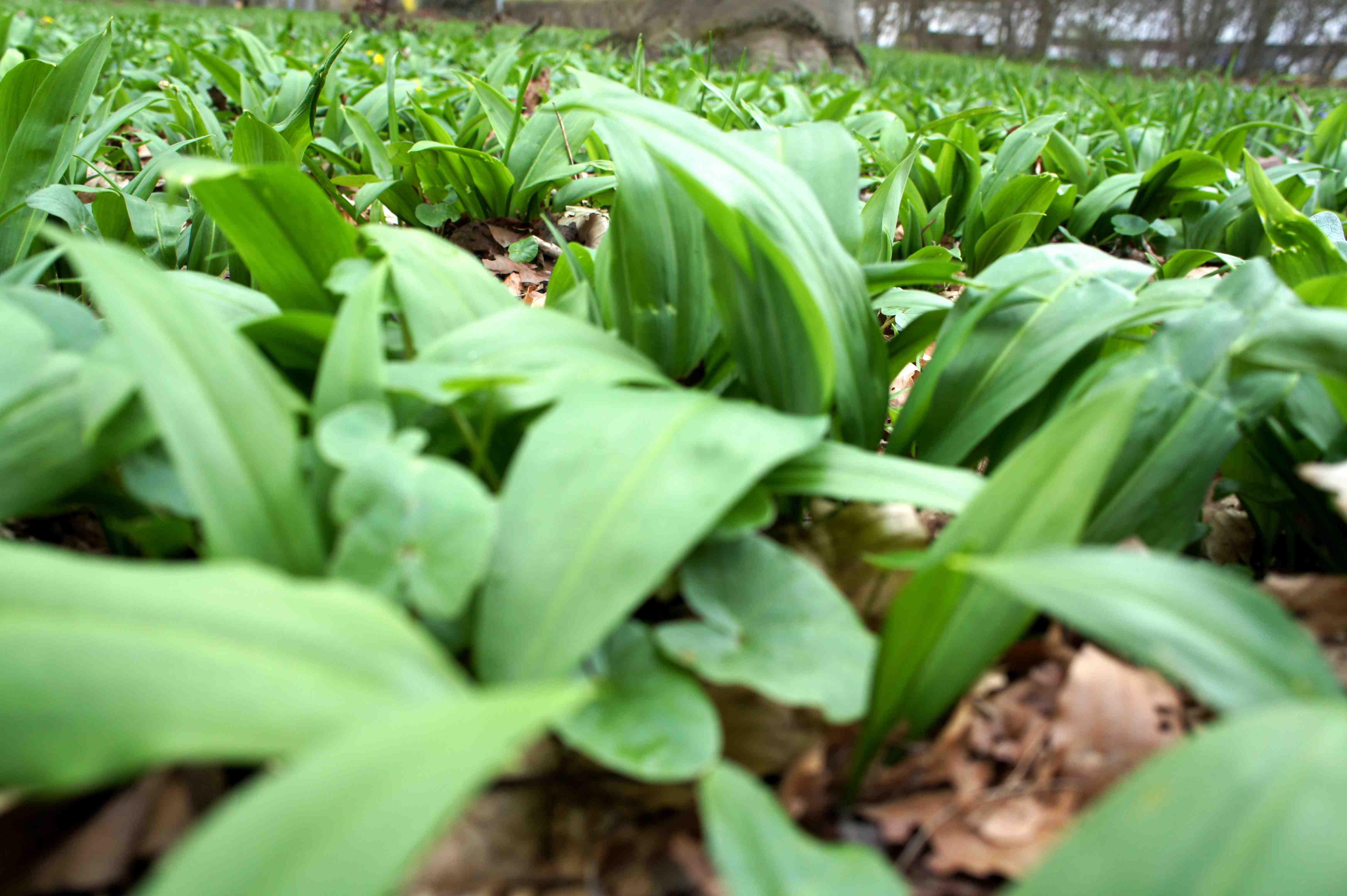 Hier wächst frischer Bärlauch. Die ideale Grundlage für ein geniales Bärlauch-Pesto. Foto: (c) Kinderoutdoor.de