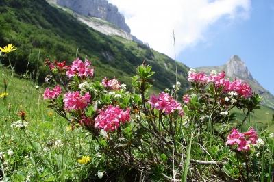 Im Kleinwalsertal können die Kinder nach Herzenslust wandern und dabei Blumen entdecken die es nur in den Bergen gibt, wie hier die Alpenrose. Foto: (c) Wolfgang Jürgens  / pixelio.de