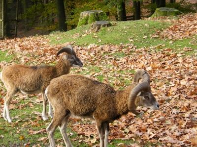Mufflons und Skiawild laufen im Wildpark Rheingönheim frei herum. Foto: (c) Axel Loll  / pixelio.de