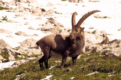Alpensteinböcke gehören im Nationalpark Berchtesgaden zu den Tieren die dort leben. Foto: Marco Barnebeck  / pixelio.de