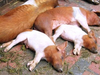 Schwein gehabt! Europas größter Tierpark für bedrohte Haustierrassen ist die Arche Wader in Schleswig Holstein. Hier leben artgerecht seltene Tiere wie das dänische Protestschwein. Foto: Birgit Winter  / pixelio.de