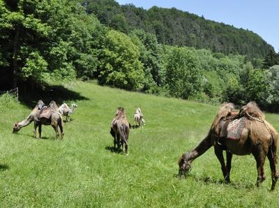 Das ist keine Foto-Montage! Mit Kamele in Bayern wandern ist völlig normal. Foto: (c) CIS  / pixelio.de
