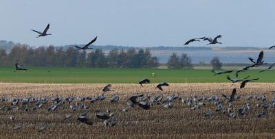 Die Kraniche sind wieder da! In Mecklenburg-Vorpommern treffen sich die besonderen Vögel um in das Winterquartier zu fliegen.  Foto: Annett B.  / pixelio.de