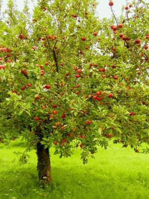 Ein Mus für alle Freunde von gesundem Essen: Äpfel! Foto: (c) Löwenzahn  / pixelio.de