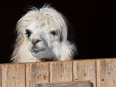 Im Frankenwald können Familien mit Lamas wandern.  Foto: Rudolpho Duba  / pixelio.de