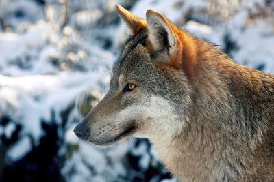 In einem Wildpark können Kinder sehen, dass ein Wolf alles andere als böse ist. Foto: (c) paukereks  / pixelio.de