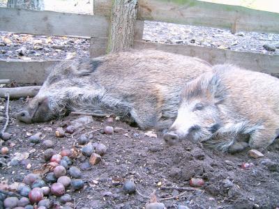 Wildschweine und andere scheue Waldtiere lassen sich im Wildgehege Moritzburg beobachten.  Foto: (c) ddmast  / pixelio.de