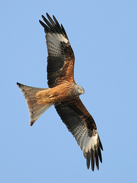 Gegen meckern hilft auch das Flugbild der Vögel. Hier seht Ihr einen roten Milan. Foto: ThKraft Lizenz: Creative Commons by-sa 3.0 de; Wikipedia