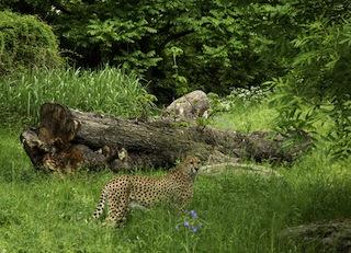 """""""Lieber große Tupfen, als kleinkariert!"""" Die Gepardenanlage im Kölner Zoo ist auch einen Besuch wert.  Foto (c) Rolf Schlosser"""