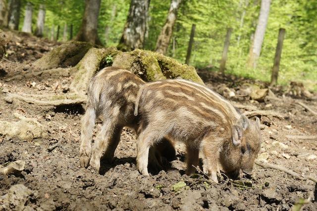 Im Wildpark Bad Mergentheim gibt es eine Menge zu entdecken.  foto (c) Kinderoutdoor.de