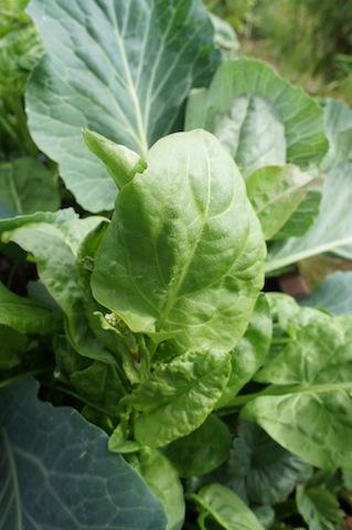 Sauerampfer! Kurz bevor Ihr daraus einen leckeren Salat zubereitet.  Foto (c) Kinderoutdoor.de