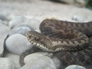 Schlangen in Deutschland sind meistens selten und ungiftig. Foto(c) Kinderoutdoor.de