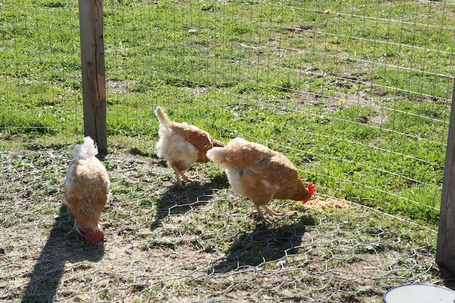 Eier kommen nicht aus dem Supermarkt, sondern vom Bauernhof im Saarland.  Foto (c) Kinderoutdoor.de