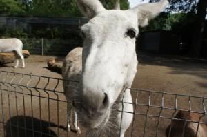 Nur ein Esel geht in Hessen nicht wandern! Mit Eseln macht es Kindern dopelt soviel Spaß draussen unterwegs zu sein.  foto (c) kinderoutdoor.de