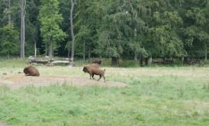 Im Wisentgehege Springe lassen sich die größten Wildtiere Europas beobachten: Wisente! Foto (c) kinderoutdoor.de