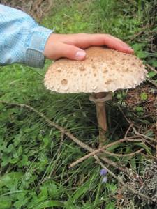 Ein leckerer Parasol oder Riesenschirmling. Mit so einem Kaliber macht das Pilze sammeln Spaß! Foto (c) Kinderoutdoor.de