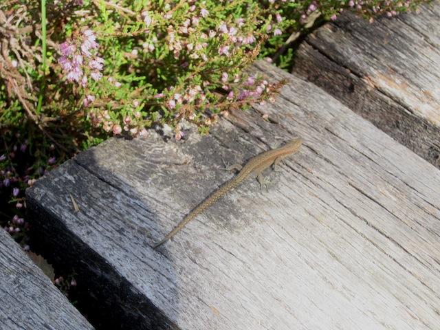 Im Moor lauern gefährliche wilde Tiere auf Euch: So wie diese Eidechse. Sehr gefährlich! Foto (c) kinderoutdoor.de