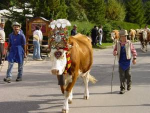 Runter von den sonnigen Almen in Südtirol geht es am Kronplatz.  Almabtrieb-in-der-Ferienregion-Kronplatz Foto (c) Kronplatz/ Südtirol