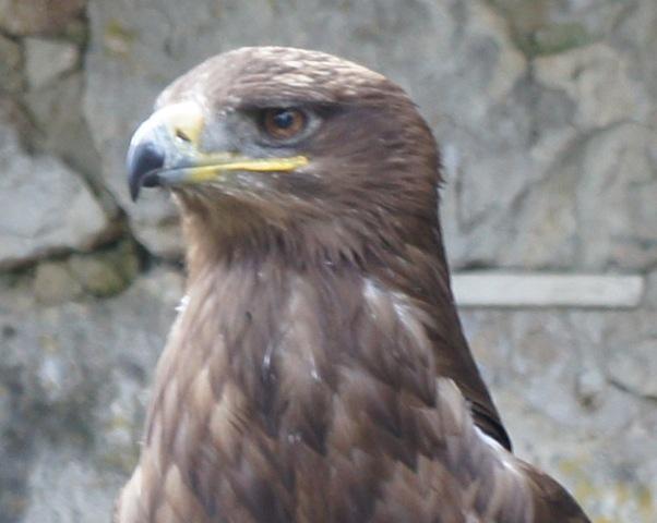 Adler sind die Stars bei Falknereien.  foto (c) kinderoutdoor.de